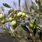 Vielfältigen Auswahl an Olivenölen Wien - La Salvia