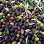 Mate Olivenöl