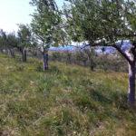 Grüne Bio Oliven mit Kern aus Nocellara di Belice