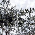 Schwarze eingelegte Leccino Oliven