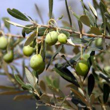 Von der Olive zum Öl
